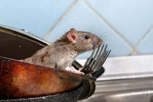 Halau Tikus Dengan Cara Berkesan Ini!