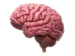Otak : Ketahui lebih lanjut mengenai organ dalam sistem saraf ini