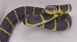 mimpi dipatuk ular